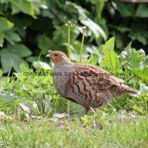 English Partridge (14)