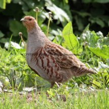 English Partridge (15)