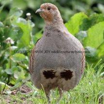 English Partridge (17)