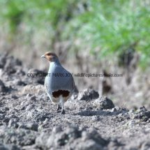 English Partridge (22)