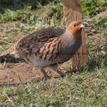 English Partridge (25)