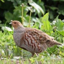 English Partridge (6)