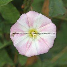Field Bindweed (Convolvulus arvensis) (1)