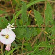 Field Bindweed (Convolvulus arvensis) (2)