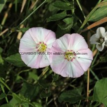 Field Bindweed (Convolvulus arvensis) (3)