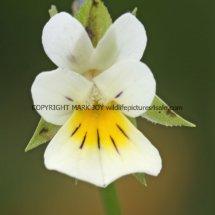 Field Pansy (Viola arvensis) (1)