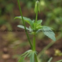 Field Pansy (Viola arvensis) (2)