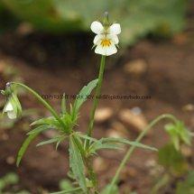 Field Pansy (Viola arvensis) (3)
