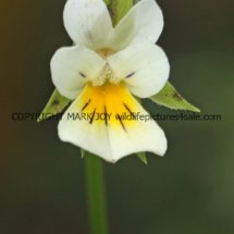 Field Pansy (Viola arvensis) (4)
