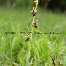 Fly Orchid 18.5.2017 (3)