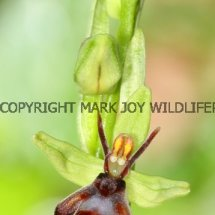 Fly Orchid (Ophrys insectifera) 29.4.2017 (2)
