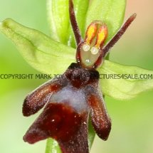 Fly Orchid (Ophrys insectifera) 29.4.2017 (3)