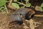 Forest Giant Owl (Caligo eurilochus livius)