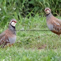 French Partridge (12)
