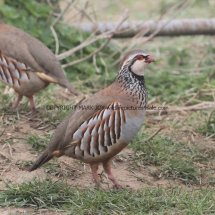 French Partridge (2)