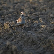 French Partridge (4)