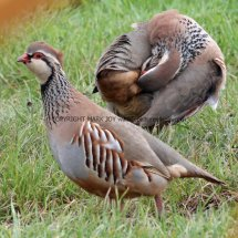French Partridge (6)