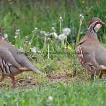 French Partridge (9)