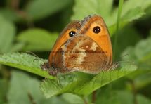 GATEKEEPERS OR HEDGE  BROWNS MATING (1)