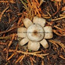 Geastrum floriforme Daisy Earthstar GREATER LONDON (2)