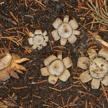 Geastrum floriforme Daisy Earthstar GREATER LONDON (6)