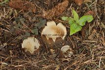 Geopora sumneriana Cedar Cup Leics Bot Gardens 28.2.17 (56)