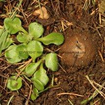 Geopora sumneriana Cedar Cup Leics Bot Gardens 28.2.17 (12)