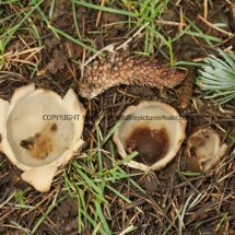 Geopora sumneriana Cedar Cup Leics Bot Gardens 28.2.17 (5)