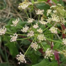 Giant Hogweed (Cartwheel Plant or Giant  Cow Parsley) (Heracleum mantegazzianum) (4)
