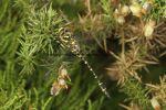 Golden Ringed Dragonfly (1)