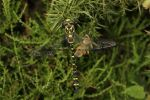 Golden Ringed Dragonfly (2)