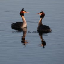 Great Crested Grebe (3)