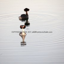 Great Crested Grebe (4)