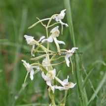 Greater Butterfly Orchid (3)