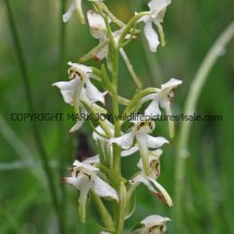 Greater Butterfly Orchid (4)