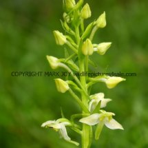 Greater Butterfly Orchid Platanthera chlorantha 18.5.17 (4)