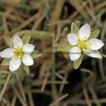 Greater Sea-spurrey (Spergularia media) White form (1)