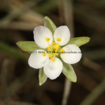 Greater Sea-spurrey (Spergularia media) White form (2)