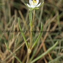 Greater Sea-spurrey (Spergularia media) White form (3)