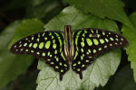 Green Spotted Triangle or Tailed Jay (3)