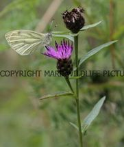 Green Veined White (14)