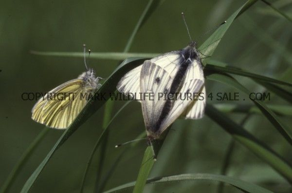 Green Veined White (6)