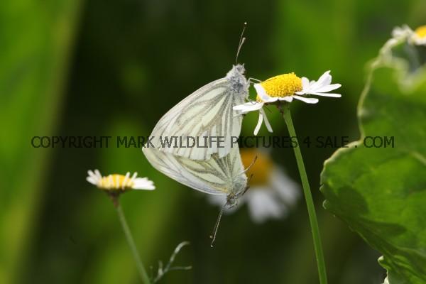 Green Veined White (9)