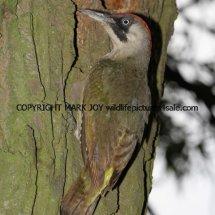 Green Woodpecker (6)