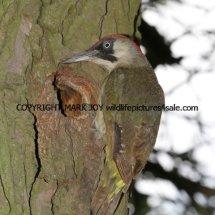 Green Woodpecker (1)