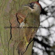 Green Woodpecker (2)