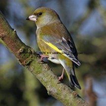 Greenfinch 9 (2)
