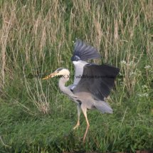 Grey Heron (3)