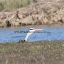 Grey Heron 65