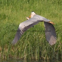 Grey Heron with Tench (1)